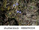 dainty little blue squill... | Shutterstock . vector #488694334