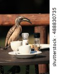 Small photo of The African grey hornbill (Tockus nasutus), hornbill during breakfast