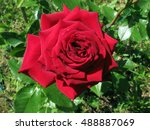Stock photo beautiful bright red rose in the garden 488887069
