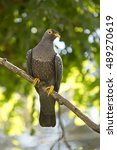 Small photo of African olive pigeon or Rameron pigeon.(Columba arquatrix).