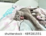 Stock photo gray cat on the bed 489281551