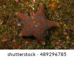 Small photo of Fire brick star (Asterodiscides truncatus)