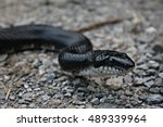 Medium Sized Black Rat Snake...