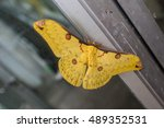 Golden Emperor Moth   Loepa...