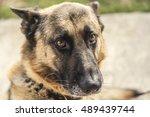 shepherd dog looks plaintively. ... | Shutterstock . vector #489439744