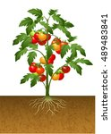illustration of tomato plant... | Shutterstock .eps vector #489483841
