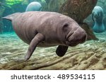 Young Manatee Close Up Portrai...