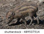 visayan warty pig  sus... | Shutterstock . vector #489537514