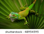 Green Iguana On Leaf