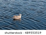 Seagull Floating On Water