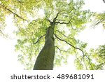 tree trunk with green branches... | Shutterstock . vector #489681091