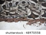 Small photo of Closeup of a Dumerils Ground Boa (Acrantophis dumerili)