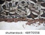 Small photo of Closeup of a Dumerils Ground Boa (Acrantophis dumerili)