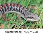 A Colorful  Common Alligator...
