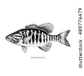 smallmouth bass hand drawn... | Shutterstock .eps vector #489776479