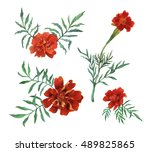 Tagetes Patula  The French...