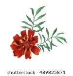 tagetes patula  the french... | Shutterstock . vector #489825871