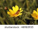 Honey Bee Gathering Pollen From ...