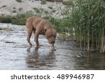 pit bull posing at the river | Shutterstock . vector #489946987