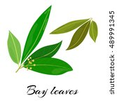 raw and dried bay leaves. latin ... | Shutterstock .eps vector #489991345