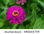 Beautiful Zinnia Flowers On...