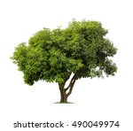 Stock photo isolated mango tree on white background 490049974