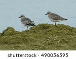 two black bellied plovers... | Shutterstock . vector #490056595