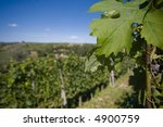 close up of leaf in a vineyard... | Shutterstock . vector #4900759