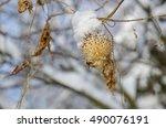 Winter Background. Echinocysti...
