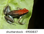 Small photo of Ruby poison frog (Ameerega parvula)