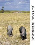 black pigs in the farmland ... | Shutterstock . vector #49011745