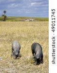 black pigs in the farmland ... | Shutterstock . vector #49011745