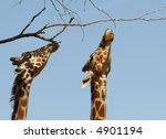 Two Giraffes Reach High Up To...