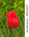Red Flower In Rain Drops On A...