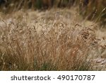 Feather Grass Near The River