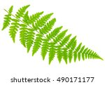 leaf fern isolated on white... | Shutterstock . vector #490171177