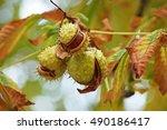 Chestnut On A Tree