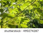 Leaves Of Platanus Hispanica Or ...