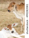 Two Calves On The Farm As Wel