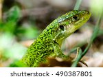 Lizard In The Grass. Gorge Du...