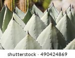 Small photo of Close up of Agave Palmeri Plant, California
