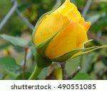 Beautiful Yellow Single Rose...
