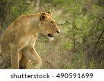 African Lioness Looking Alerte...