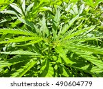 bushes of the cannabis plant | Shutterstock . vector #490604779