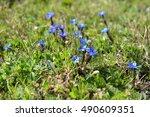 Small photo of Gentiana nivalis (snow gentian or Alpine gentian) at Grossglockner in European alps