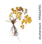 herbarium with dry pressed... | Shutterstock . vector #490666981