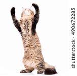 Black Tabby Maine Coon Kitten ...