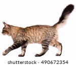 Stock photo portrait of domestic black tabby maine coon kitten months old cute young cat isolated on white 490672354