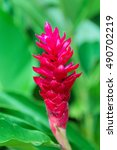 Small photo of Red ginger flower on bright green background. Alpinia purpurata.