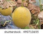 Japanness Melons  Canary Melon...